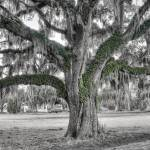 """Lowcountry Live Oak"" by Hansen"
