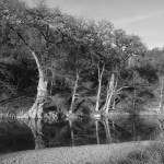 """Bald Cypress B/W II"" by MarksClickArt"