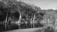 Bald Cypress B/W II