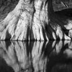 """Bald Cypress Roots on Guadalupe River"" by MarksClickArt"