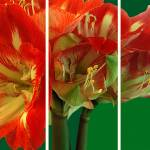 """Amaryllis Triptych"" by madeline"