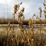 """""""Reeds"""" by MKreidler"""