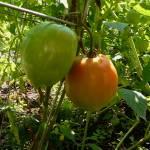 """tomatoes"" by emburke"