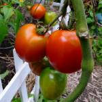 """Garden Tomatoes"" by emburke"