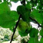 """Apple"" by emburke"