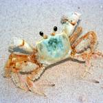 """crab"" by JVP-photography"