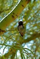 The Palo Verde Hummingbird