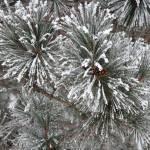 """""""Snowy Pine"""" by MarkDavidJones"""