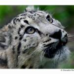 """Baby Snow Leopard: Wonder"" by WildVisuals"