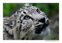 Baby Snow Leopard: Wonder