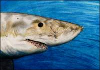 Great White Sharkey
