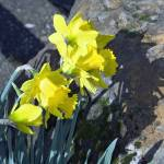 """Daffodils Surrounded by Rocks"" by cvpictures"