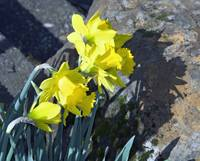 Daffodils Surrounded by Rocks