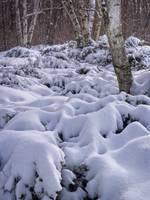 Snow covered Shrubs