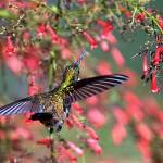 """Humming Bird-18"" by gregoryscott"