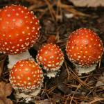 """group of Fly Agaric"" by pafb"