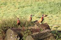 three pheasants