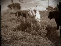 Rosie fudge and floss eating grass