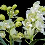 """White Cymbidium Orchid"" by ImageArt-Photography"