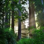 """Sunlight In The Redwoods (V)"" by pbk"