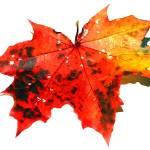 """Autumn Leaf"" by jungleboy"