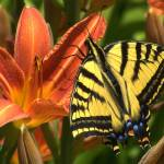 """""""Butterfly Resting on a Lilly"""" by Lefty231983"""