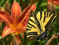 Butterfly Resting on a Lilly