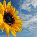 """Sunflower & sky"" by Paul_Rumsey"