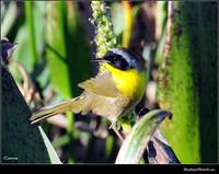 Yellowthroat Male