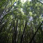 """Bamboo Forest (H0084)"" by MarkDahmke"