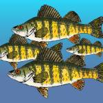 """Yellow Perch"" by fishfolkart"