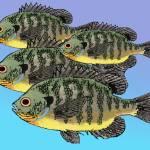 """""""Bluegill School"""" by fishfolkart"""