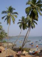 Goa, India - Palm Trees