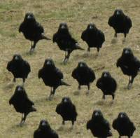 Crows marching