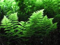 Illuminated Ferns