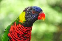 Portrait of A Beautiful Lory