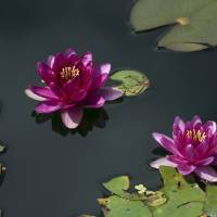water lilies by julie scholz