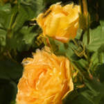 """Yellow Roses in Pseudo Oil Painting"" by SueLeonard"