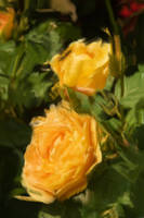 Yellow Roses in Pseudo Oil Painting