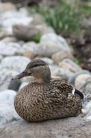 Female Mallard Duck 2