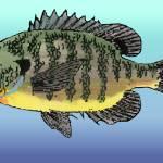 """Bluegill Sunfish"" by fishfolkart"