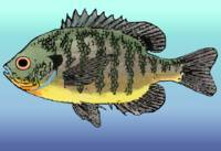 Bluegill Sunfish