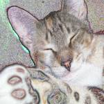 """Sleeping Kitty Art"" by AmyKania"