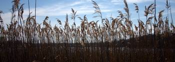 Reeds by the River