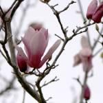 """Magnolia"" by kimboj"