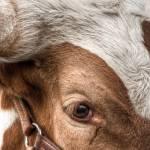 """""""Longhorn Looker"""" by BeautifullyScene"""