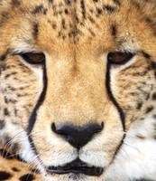 Cheetah's Gaze