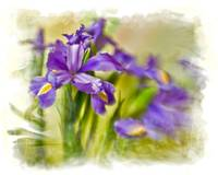 Purple Irises 2