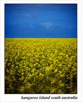 canola fields 16x20 300