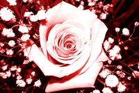 Crimson and Pale Pink Rose